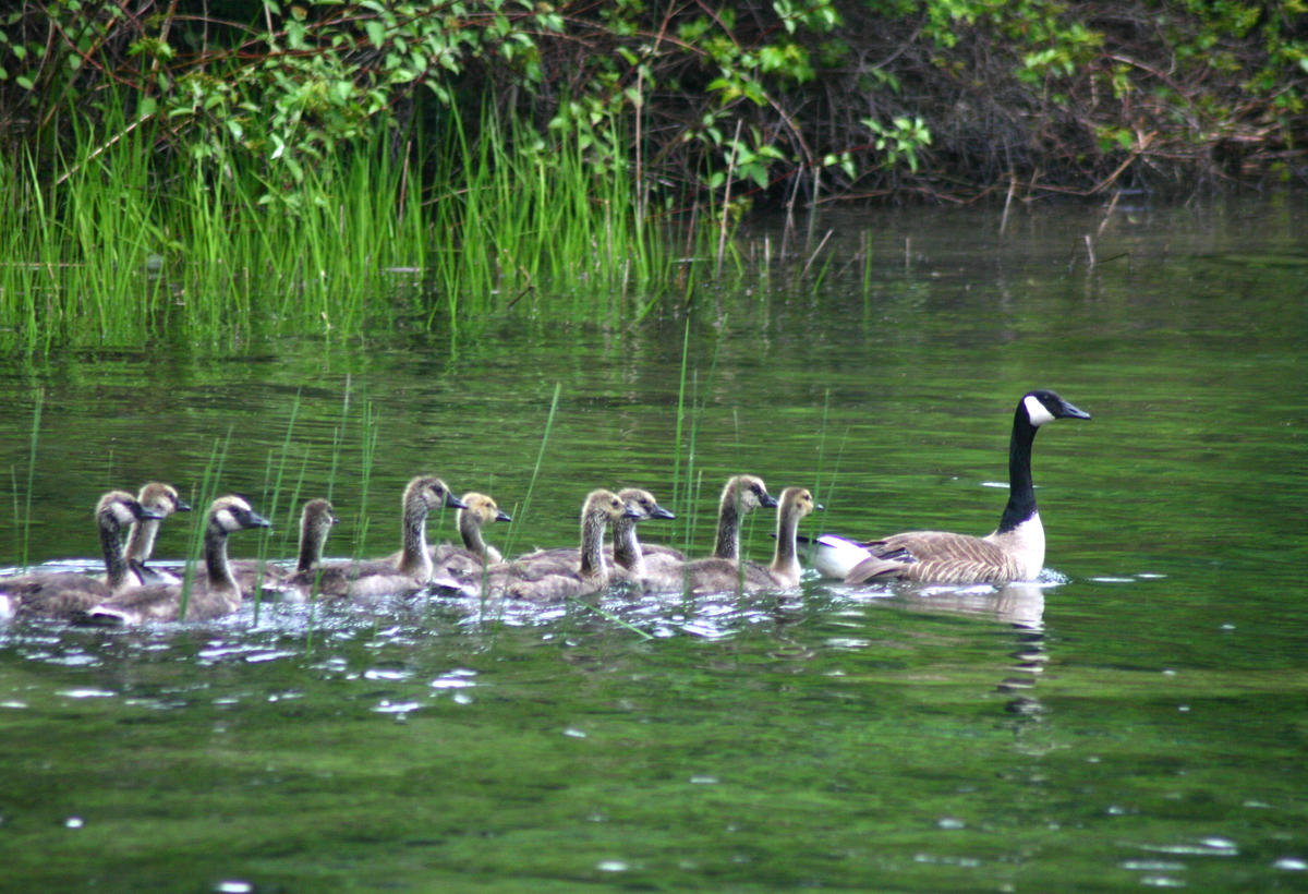 Goose family by Sarah Ellen Smith