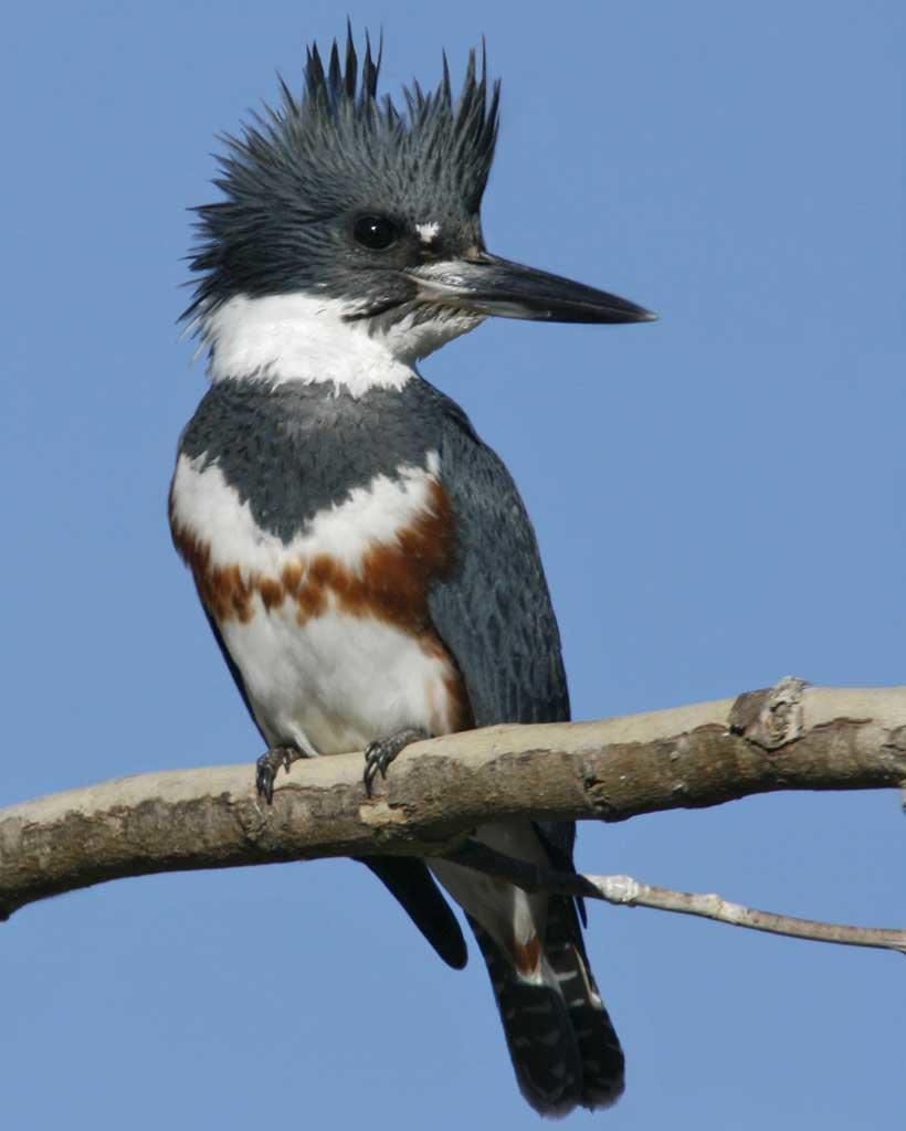 The River Rat Of The Bird World Belted Kingfisher Thousand Islands Land Trust