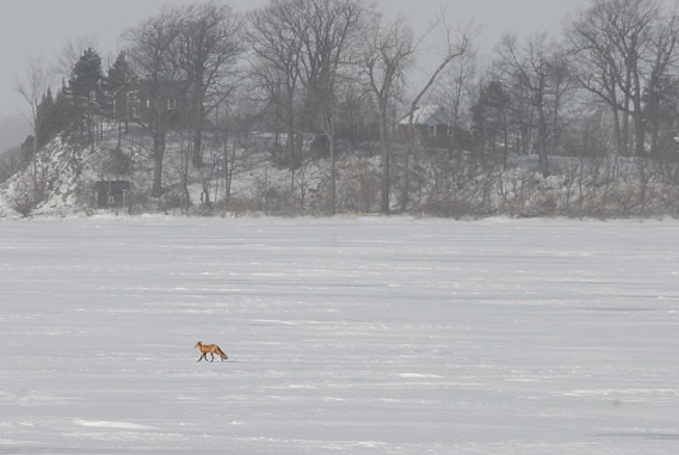 Fox on Ice