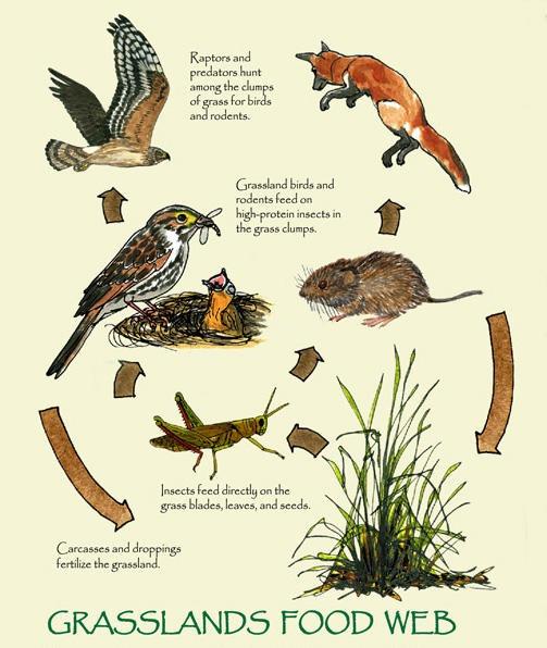 how to draw a grassland food web