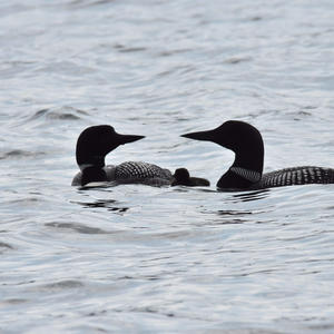 Loons on the River - Photo by Hobart Collins