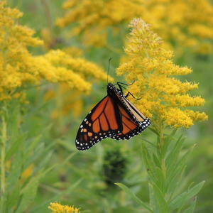 Monarch Butterfly on Carleton Island