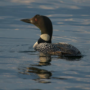 Lone Loon Photo by Sandy Adams